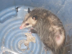 The opossum I found in my garage.  I caught it and released it like an unwanted Kindle.